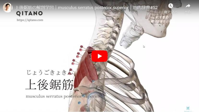 上後鋸筋の解剖図をYouTube動画で簡単解説