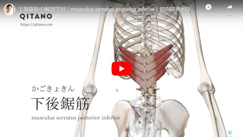 下後鋸筋の解剖図をYouTube動画で簡単解説