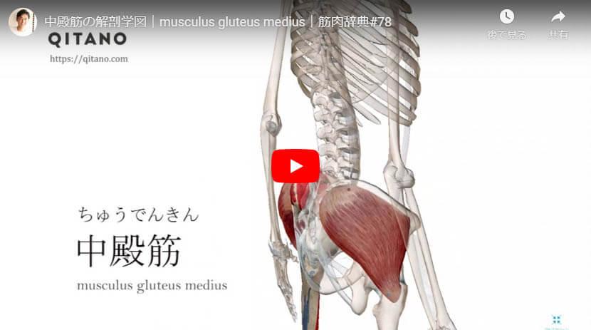 中殿筋の解剖図をYouTube動画で簡単解説