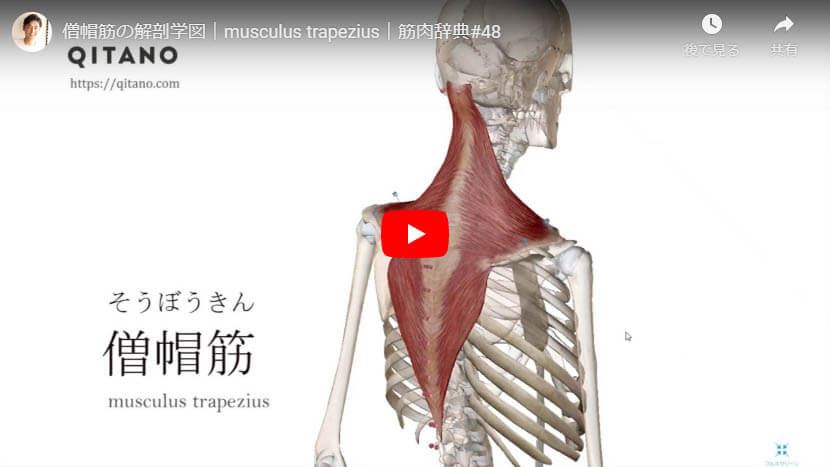 僧帽筋の解剖図をYouTube動画で簡単解説