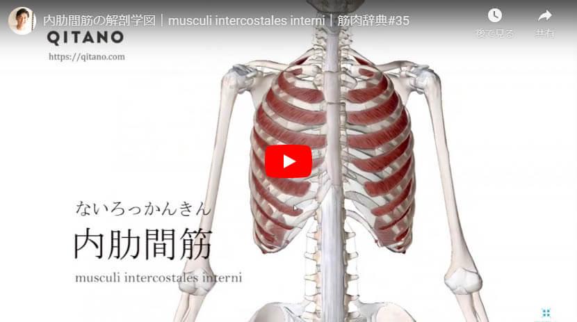 内肋間筋の解剖図をYouTube動画で簡単解説