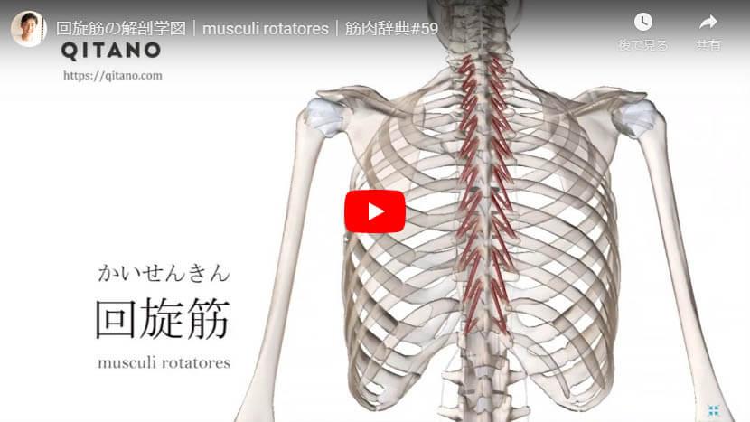 回旋筋の解剖図をYouTube動画で簡単解説