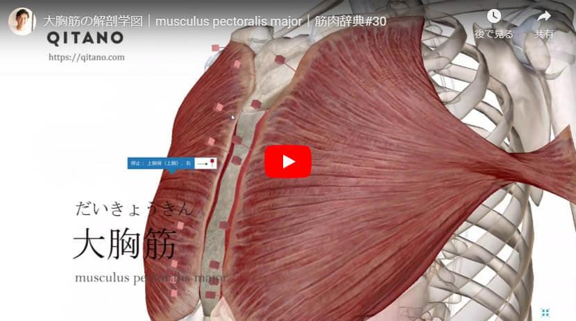 大胸筋の解剖図をYouTube動画で簡単解説