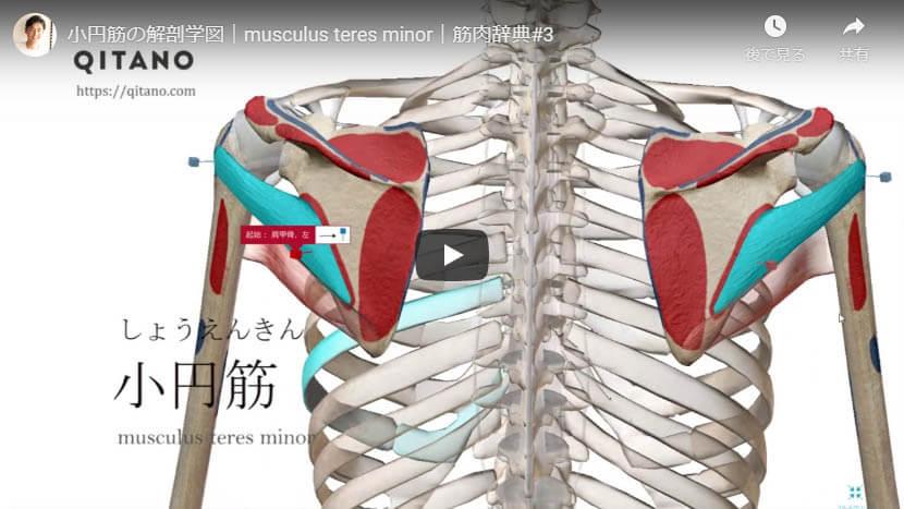 小円筋の解剖図をYouTube動画で簡単解説