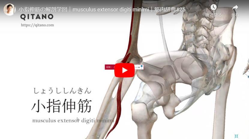 小指伸筋の解剖図をYouTube動画で簡単解説