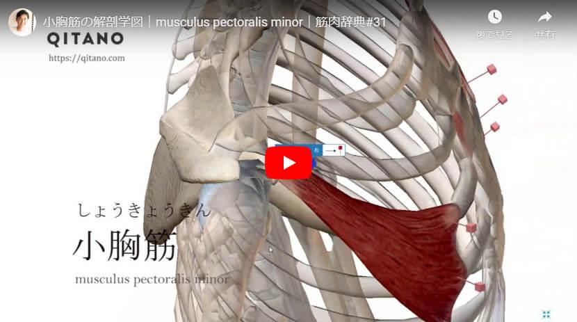 小胸筋の解剖図をYouTube動画で簡単解説