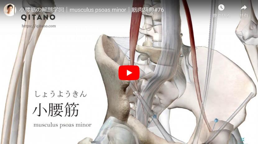 小腰筋の解剖図をYouTube動画で簡単解説