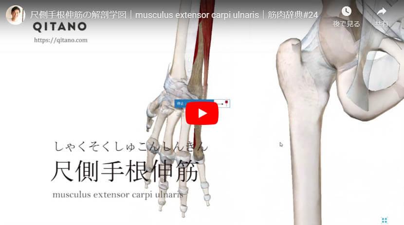 尺側手根伸筋の解剖図をYouTube動画で簡単解説