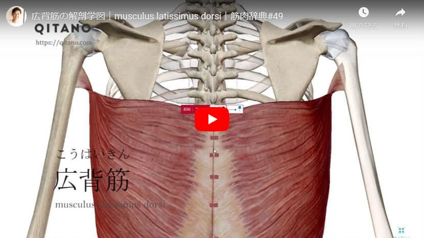 広背筋の解剖図をYouTube動画で簡単解説