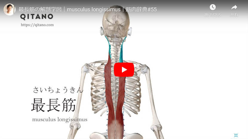 最長筋の解剖図をYouTube動画で簡単解説