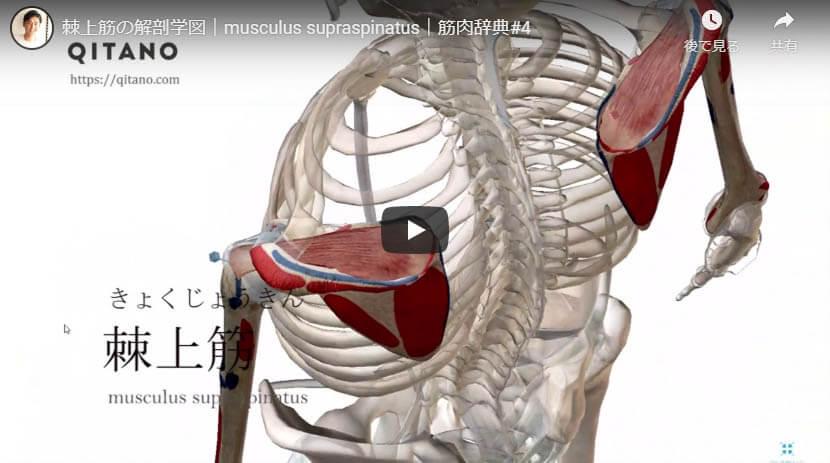棘上筋の解剖図をYouTube動画で簡単解説