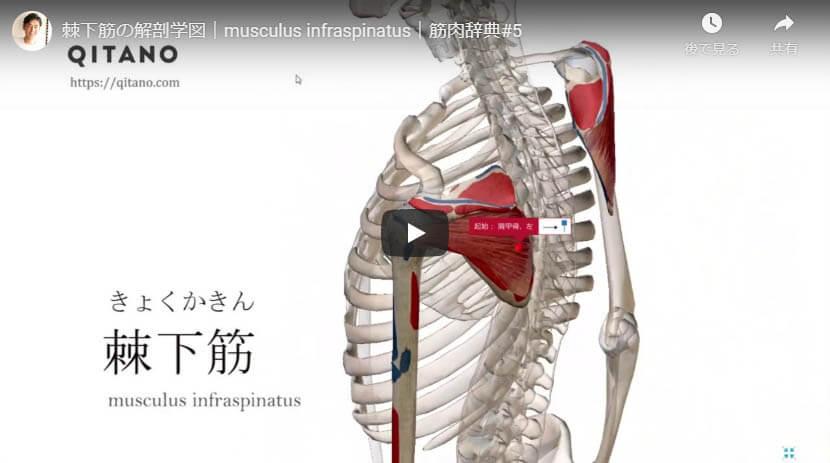 棘下筋の解剖図をYouTube動画で簡単解説