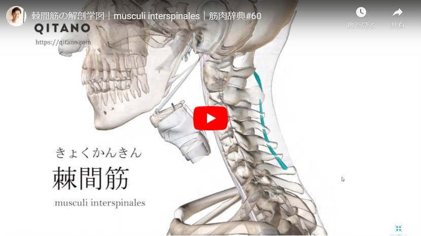 棘間筋の解剖図をYouTube動画で簡単解説