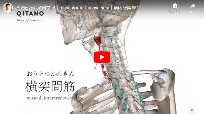 横突間筋の解剖図をYouTube動画で簡単解説