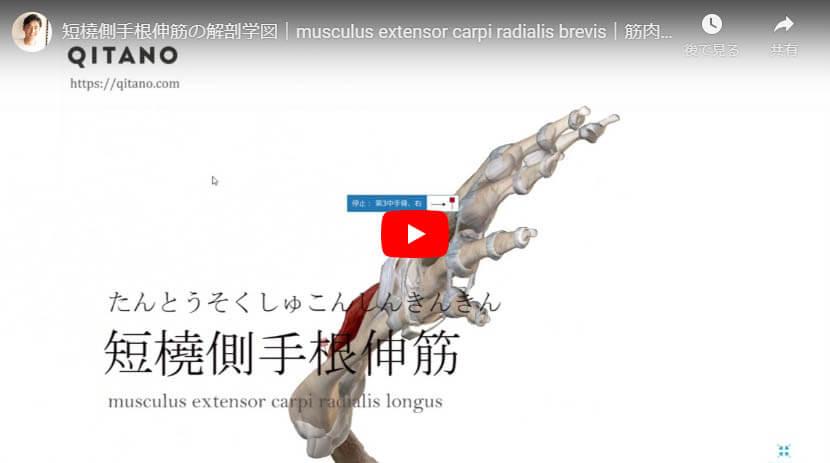 短橈側手根伸筋の解剖図をYouTube動画で簡単解説