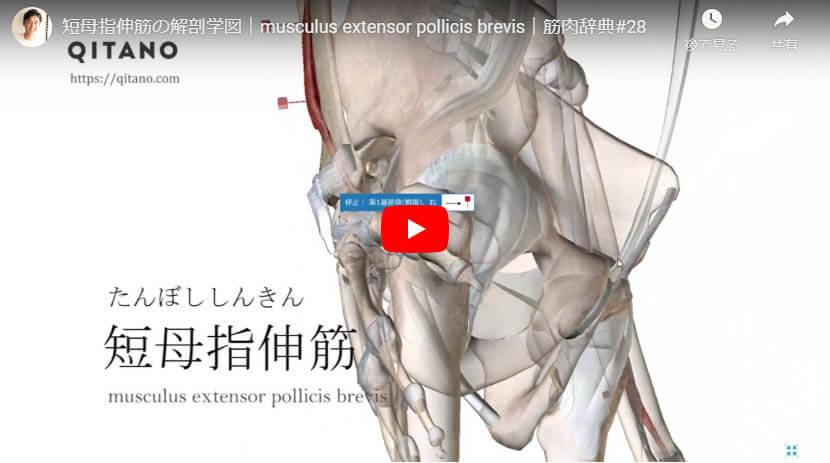 短母指伸筋の解剖図をYouTube動画で簡単解説