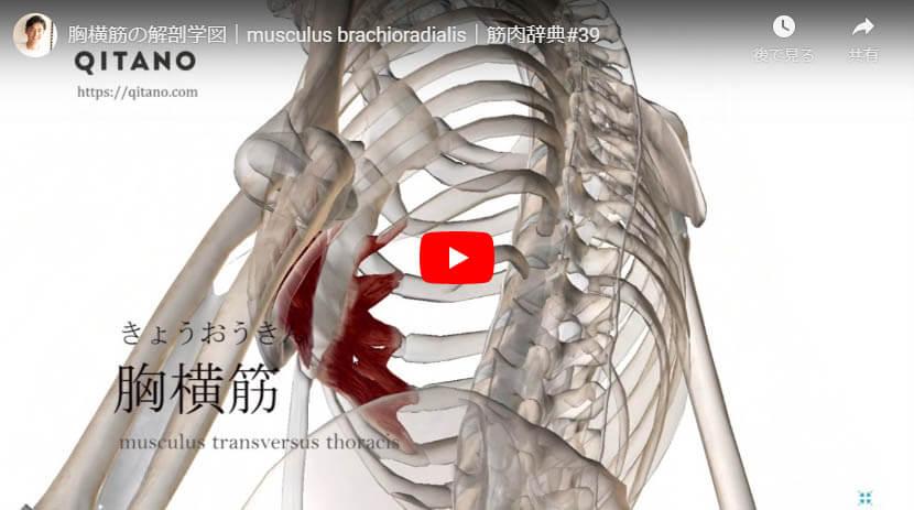 胸横筋の解剖図をYouTube動画で簡単解説