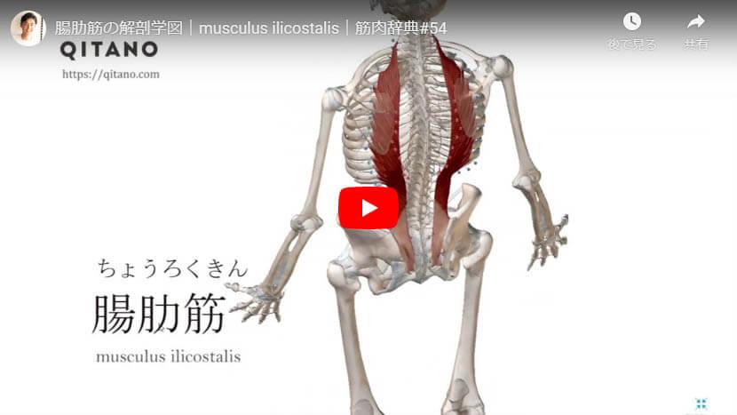 腸肋筋の解剖図をYouTube動画で簡単解説