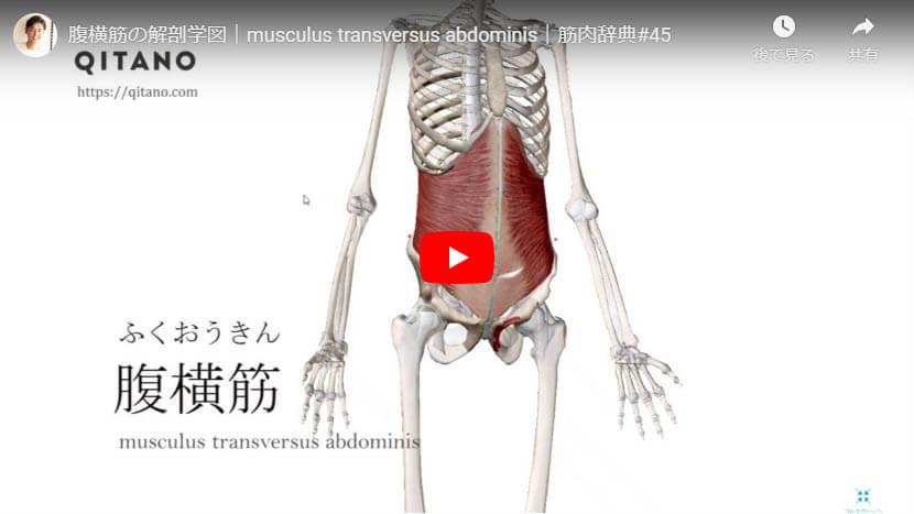 腹横筋の解剖図をYouTube動画で簡単解説