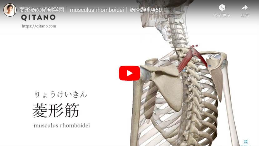 菱形筋の解剖図をYouTube動画で簡単解説