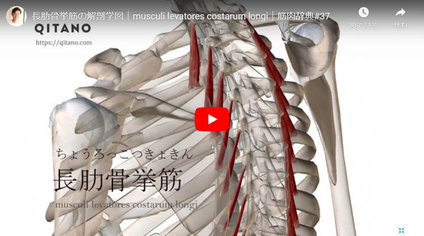 長肋骨挙筋の解剖図をYouTube動画で簡単解説