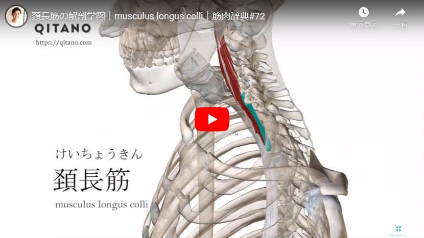 頚長筋の解剖図をYouTube動画で簡単解説