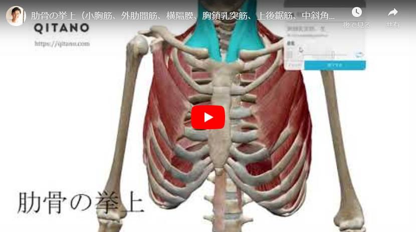 肋骨の挙上(小胸筋、外肋間筋、横隔膜、胸鎖乳突筋、上後鋸筋、中斜角筋、後斜角筋、前斜角筋、)