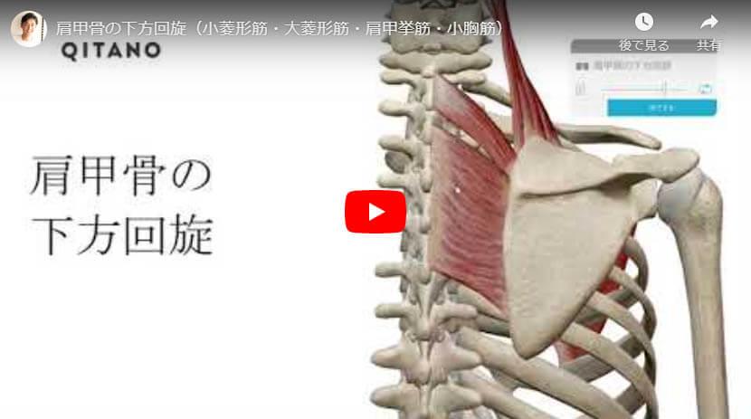 肩甲骨の下方回旋(小菱形筋・大菱形筋・肩甲挙筋・小胸筋)