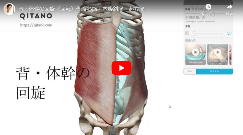 背・体幹の回旋(回転)外腹斜筋・内腹斜筋・起立筋