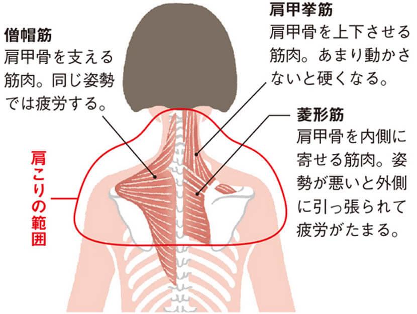 肩甲骨周辺の筋肉群