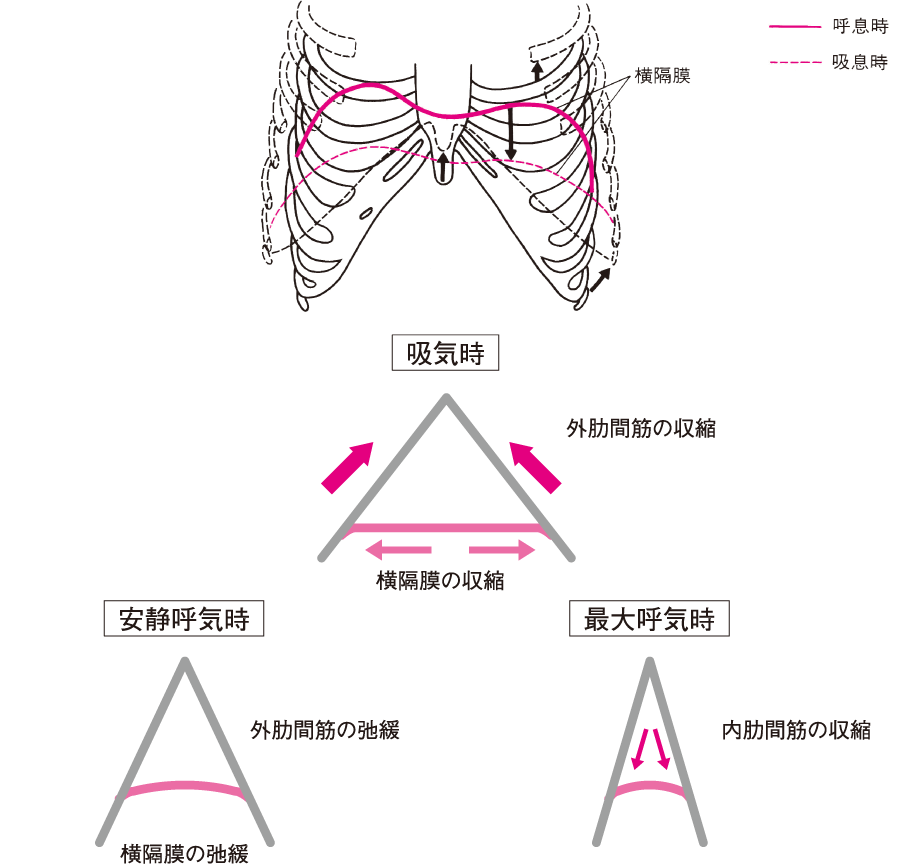 呼吸時における内肋間筋と外肋間筋の作用