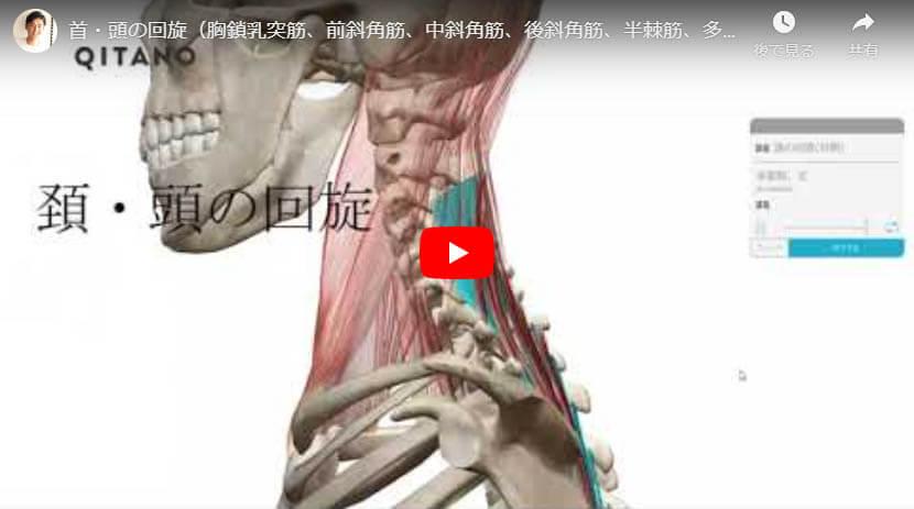 首・頭の回旋(胸鎖乳突筋、前斜角筋、中斜角筋、後斜角筋、半棘筋、多裂筋、回旋筋)