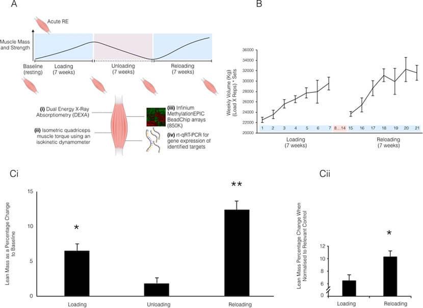 筋肉の記憶(マッスルメモリー)の科学的根拠の図解
