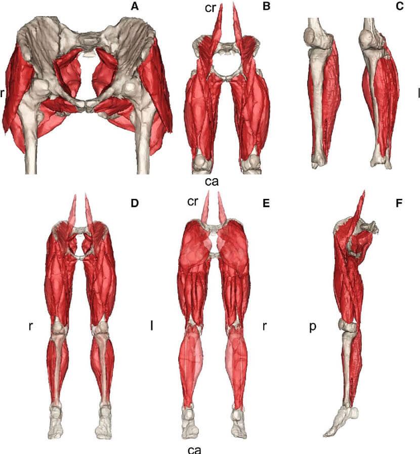 下半身の筋肉群(イメージ図)