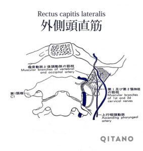 外側頭直筋(がいそくとうちょくきん)機能解剖学図・起始停止・働き