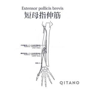 短母指伸筋(たんぼししんきん)機能解剖学図・起始停止・働き