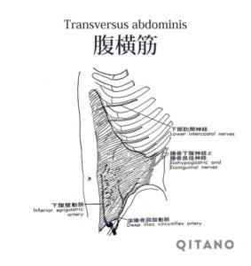 腹横筋(ふくおうきん)機能解剖学図・起始停止・働き