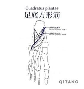 足底方形筋(そくていほうけいきん)機能解剖学図・起始停止・働き
