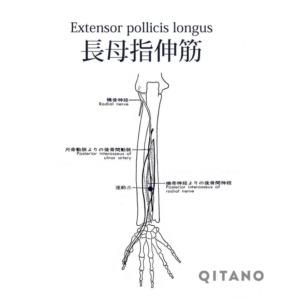 長母指伸筋(ちょうぼししんきん)機能解剖学図・起始停止・働き